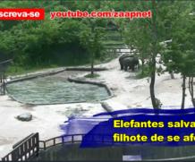 Elefantes salvam filhote de se afogar