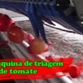 Máquina de triagem de tomate